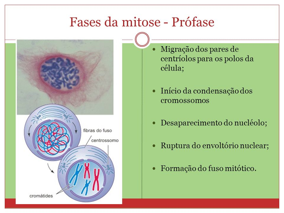 Fases da mitose - Prófase Migração dos pares de centríolos para os polos da célula; Início da condensação dos cromossomos Desaparecimento do nucléolo;