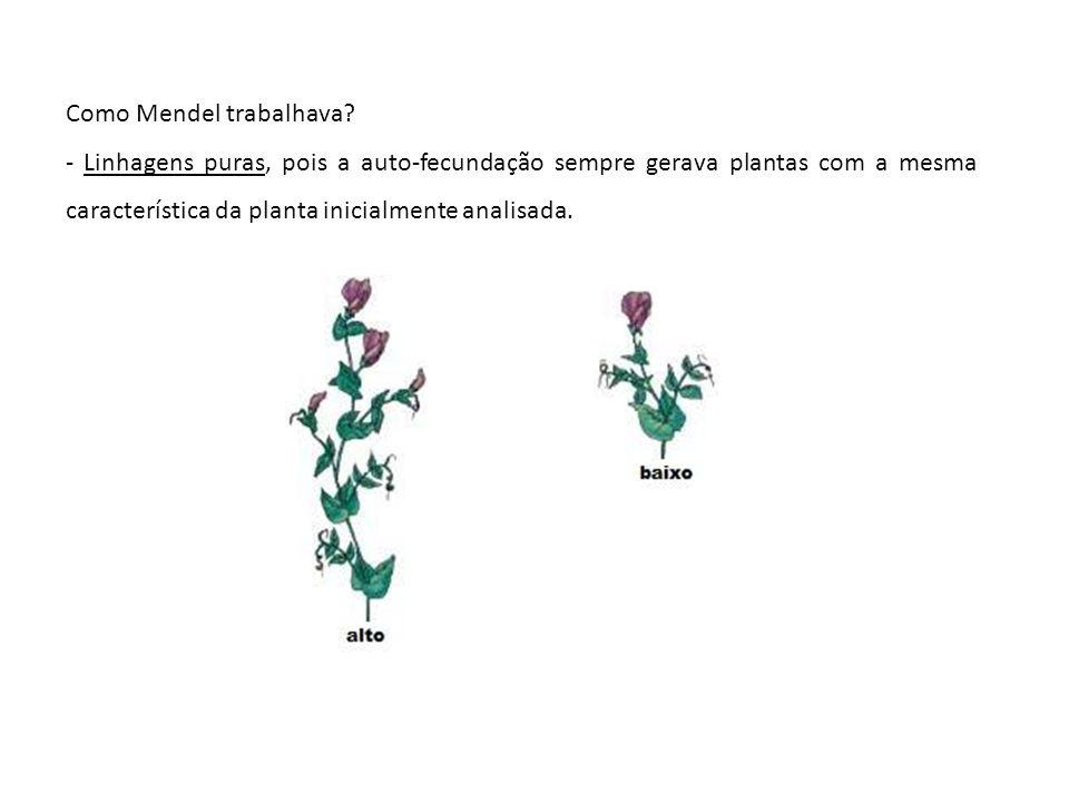 Como Mendel trabalhava? - Linhagens puras, pois a auto-fecundação sempre gerava plantas com a mesma característica da planta inicialmente analisada.