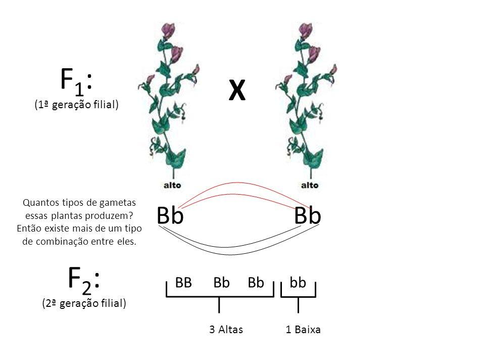 X F 1 : (1ª geração filial) F 2 : (2ª geração filial) Bb bbBB Quantos tipos de gametas essas plantas produzem? Então existe mais de um tipo de combina