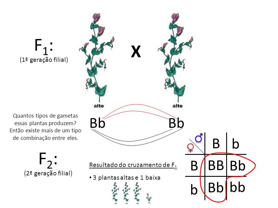 X F 1 : (1ª geração filial) F 2 : (2ª geração filial) Bb Quantos tipos de gametas essas plantas produzem? Então existe mais de um tipo de combinação e