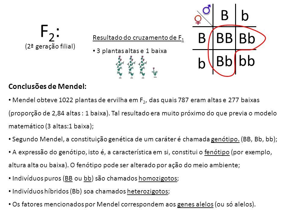 F 2 : (2ª geração filial) B B b b Bb bb BB Resultado do cruzamento de F 1 3 plantas altas e 1 baixa Conclusões de Mendel: Mendel obteve 1022 plantas d