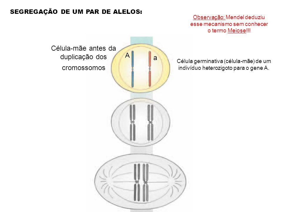 SEGREGAÇÃO DE UM PAR DE ALELOS: Célula-mãe antes da duplicação dos cromossomos A a Célula germinativa (célula-mãe) de um indivíduo heterozigoto para o