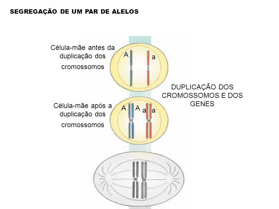 Célula-mãe antes da duplicação dos cromossomos DUPLICAÇÃO DOS CROMOSSOMOS E DOS GENES Célula-mãe após a duplicação dos cromossomos A a AA aa SEGREGAÇÃ