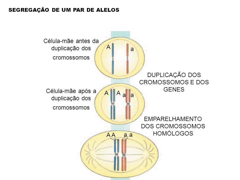 Célula-mãe antes da duplicação dos cromossomos DUPLICAÇÃO DOS CROMOSSOMOS E DOS GENES Célula-mãe após a duplicação dos cromossomos EMPARELHAMENTO DOS