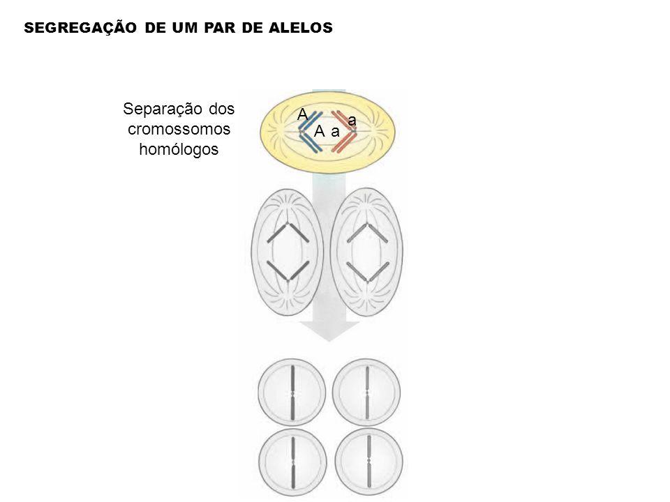 Separação dos cromossomos homólogos a a A A SEGREGAÇÃO DE UM PAR DE ALELOS