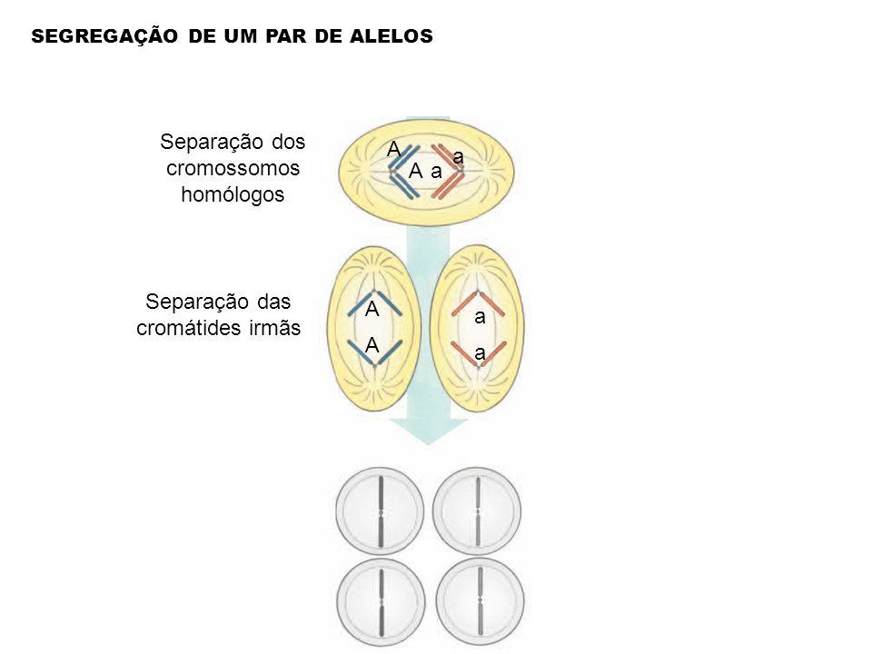 Separação dos cromossomos homólogos Separação das cromátides irmãs a a A A A A a a SEGREGAÇÃO DE UM PAR DE ALELOS