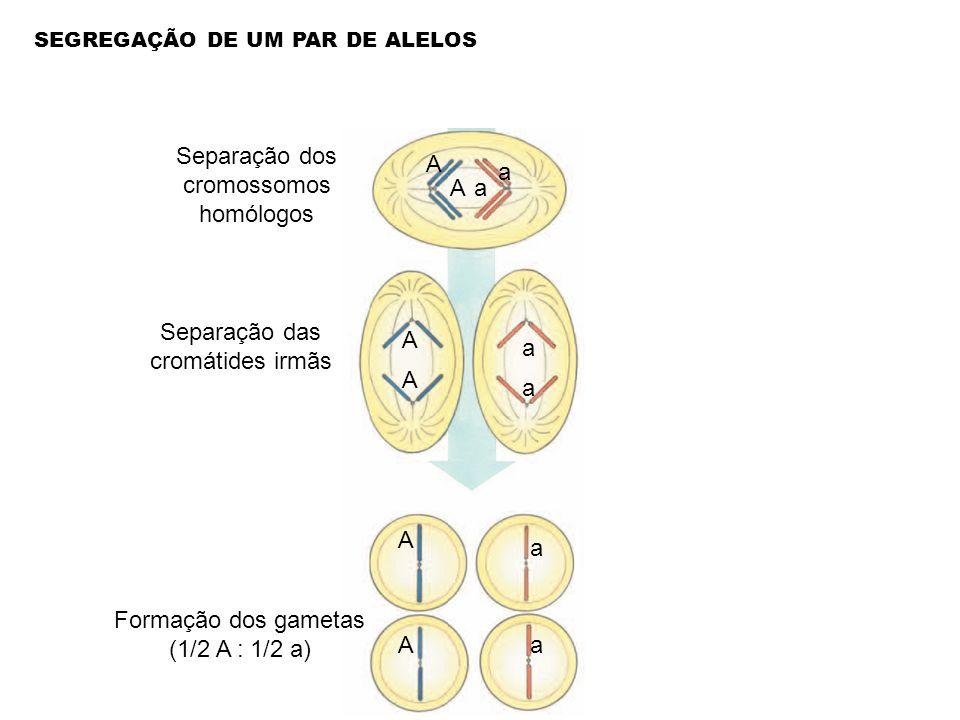 Separação dos cromossomos homólogos Separação das cromátides irmãs Formação dos gametas (1/2 A : 1/2 a) a a A A A A a a a a A A SEGREGAÇÃO DE UM PAR D