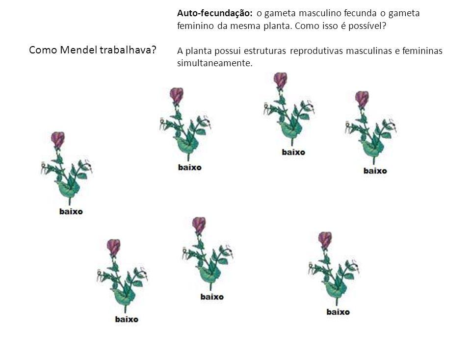 Como Mendel trabalhava? Auto-fecundação: o gameta masculino fecunda o gameta feminino da mesma planta. Como isso é possível? A planta possui estrutura