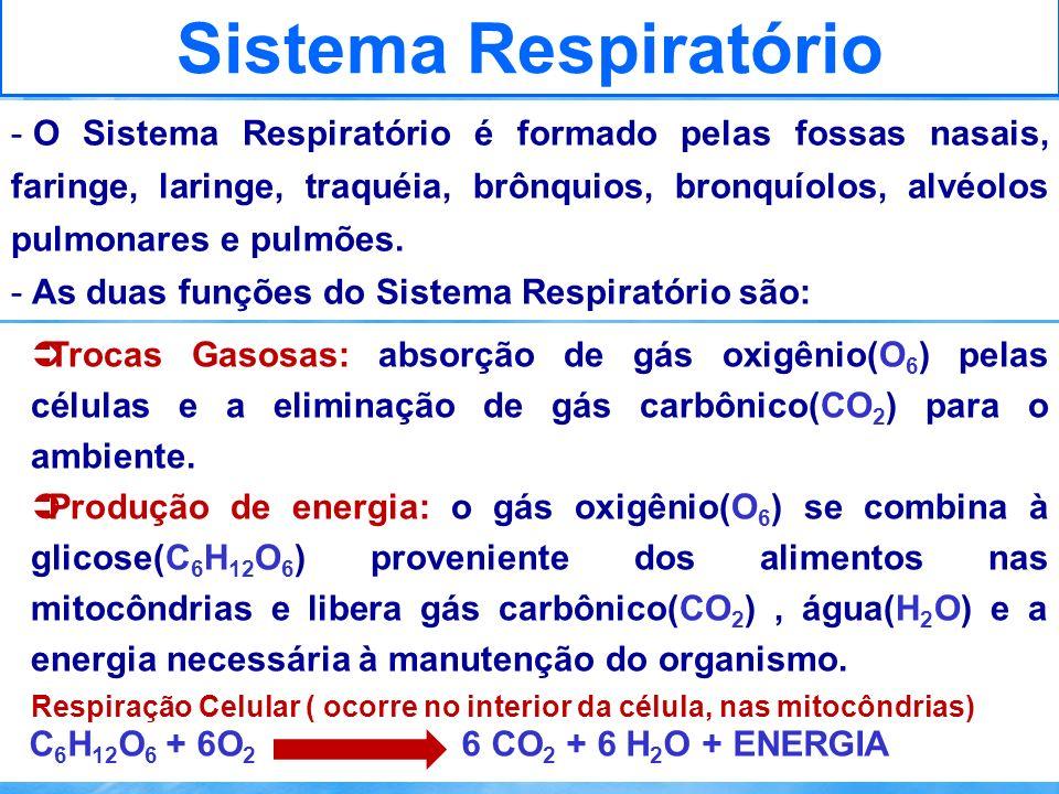 Sistema Respiratório Trocas Gasosas: absorção de gás oxigênio(O 6 ) pelas células e a eliminação de gás carbônico(CO 2 ) para o ambiente. Produção de