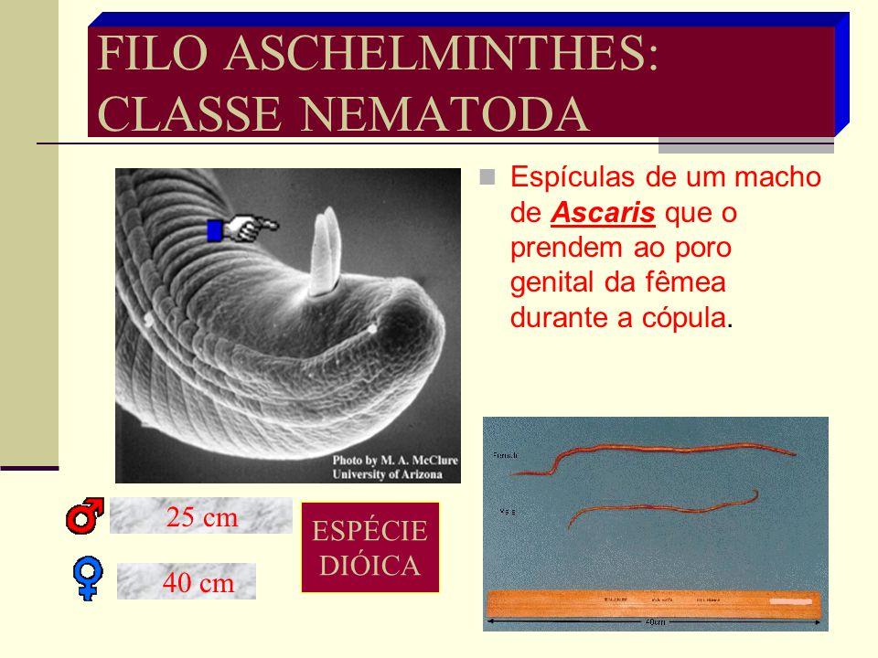 ASCARIDÍASE ASCARIDÍASE É o parasitismo desenvolvido ASCARIDÍASE É o parasitismo desenvolvido no homem pelo Ascaris lumbricoides. no homem pelo Ascari