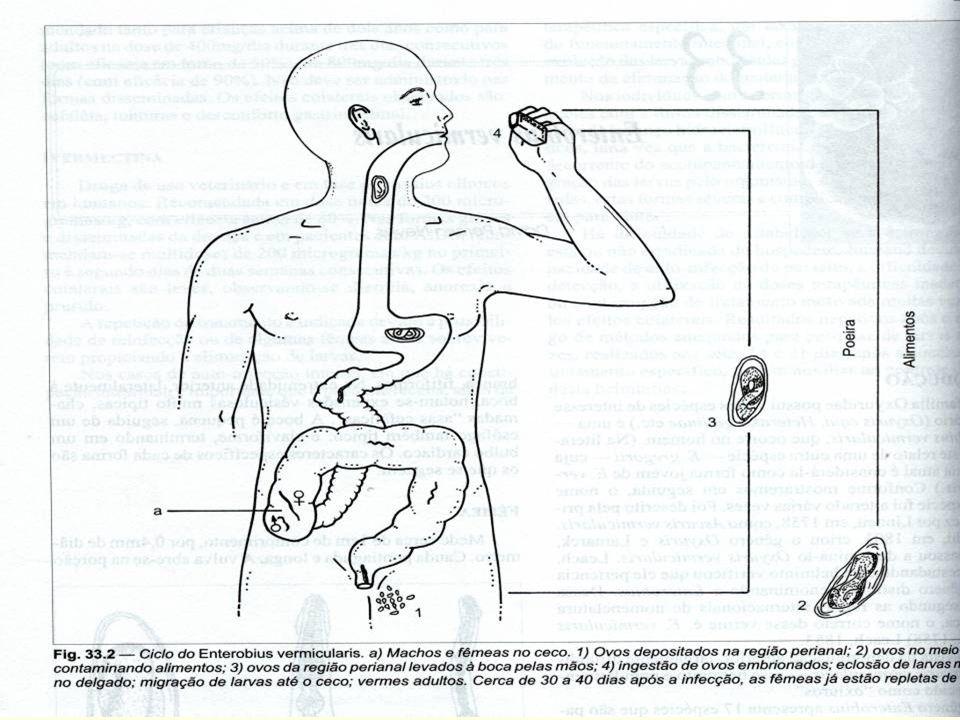 Enterobius vermiculares HÁBITAT HÁBITAT Machos e fêmeas vivem no ceco e apêndice. As fêmeas Machos e fêmeas vivem no ceco e apêndice. As fêmeas replet