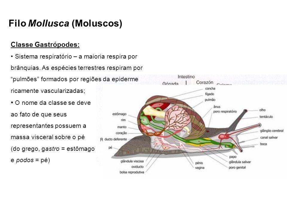 Filo Mollusca (Moluscos) Classe Gastrópodes: Sistema respiratório – a maioria respira por brânquias. As espécies terrestres respiram por pulmões forma