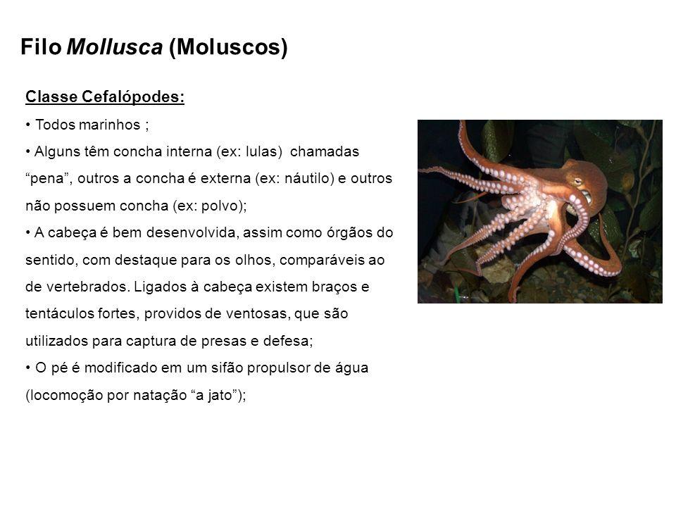 Filo Mollusca (Moluscos) Classe Cefalópodes: Todos marinhos ; Alguns têm concha interna (ex: lulas) chamadas pena, outros a concha é externa (ex: náut