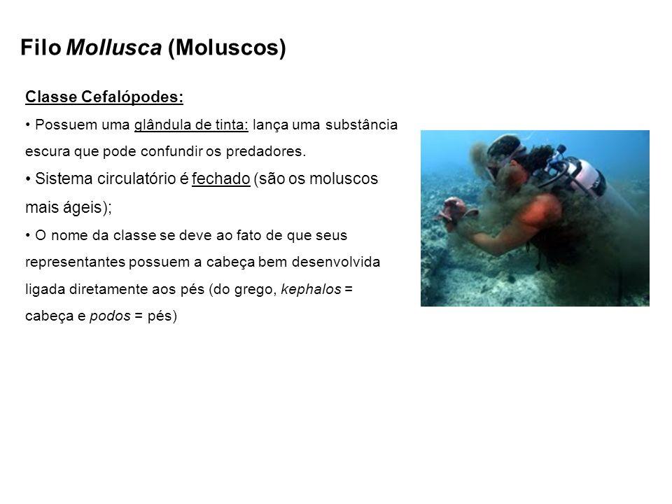Filo Mollusca (Moluscos) Classe Cefalópodes: Possuem uma glândula de tinta: lança uma substância escura que pode confundir os predadores. Sistema circ