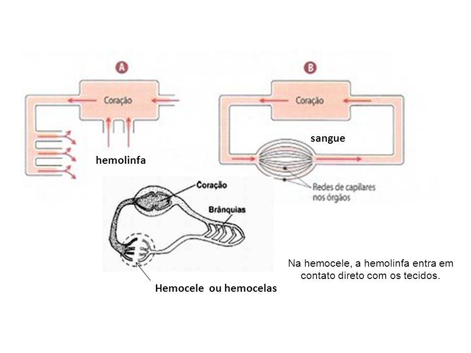 hemolinfa sangue Hemocele ou hemocelas Na hemocele, a hemolinfa entra em contato direto com os tecidos.