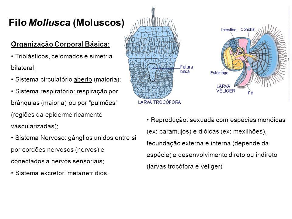 Filo Mollusca (Moluscos) Organização Corporal Básica: Triblásticos, celomados e simetria bilateral; Sistema circulatório aberto (maioria); Sistema res