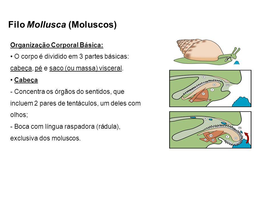 Filo Mollusca (Moluscos) Organização Corporal Básica: O corpo é dividido em 3 partes básicas: cabeça, pé e saco (ou massa) visceral. Cabeça - Concentr