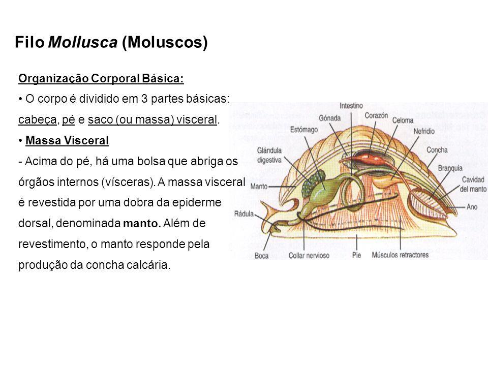 Filo Mollusca (Moluscos) Organização Corporal Básica: O corpo é dividido em 3 partes básicas: cabeça, pé e saco (ou massa) visceral. Massa Visceral -