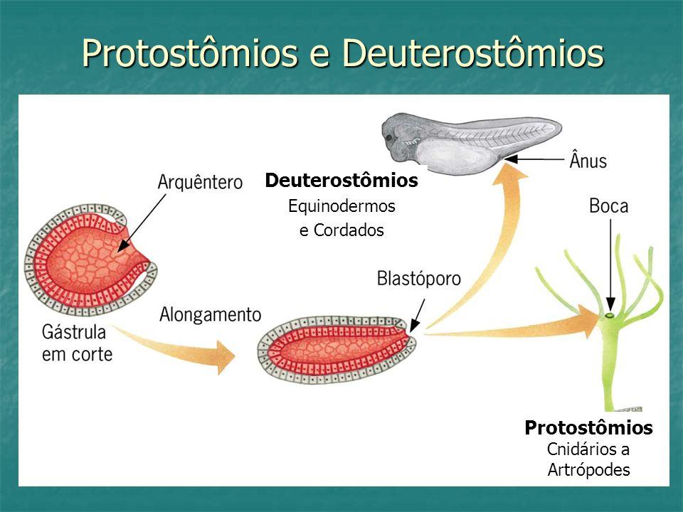 Protostômios e Deuterostômios Deuterostômios Equinodermos e Cordados Protostômios Cnidários a Artrópodes