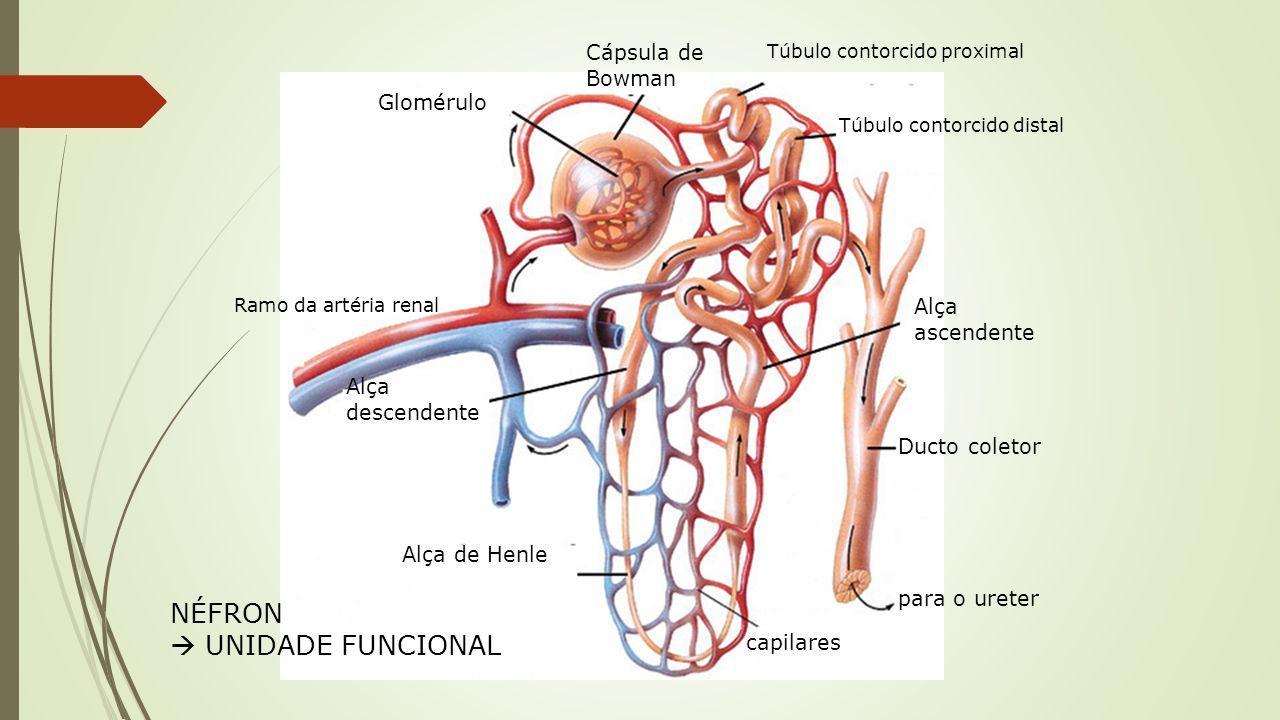 Anatomia Néfron Unidade morfofuncional do rim Regiões: Glomérulo Renal Cápsula de Bowman Túbulo cont.