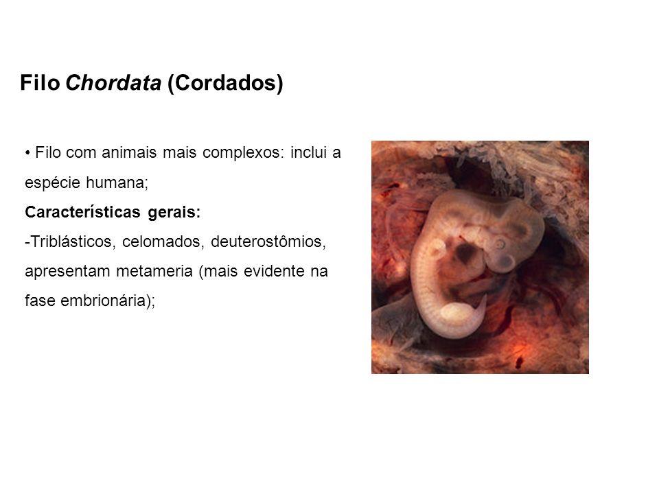Filo Chordata (Cordados) Filo com animais mais complexos: inclui a espécie humana; Características gerais: -Triblásticos, celomados, deuterostômios, a
