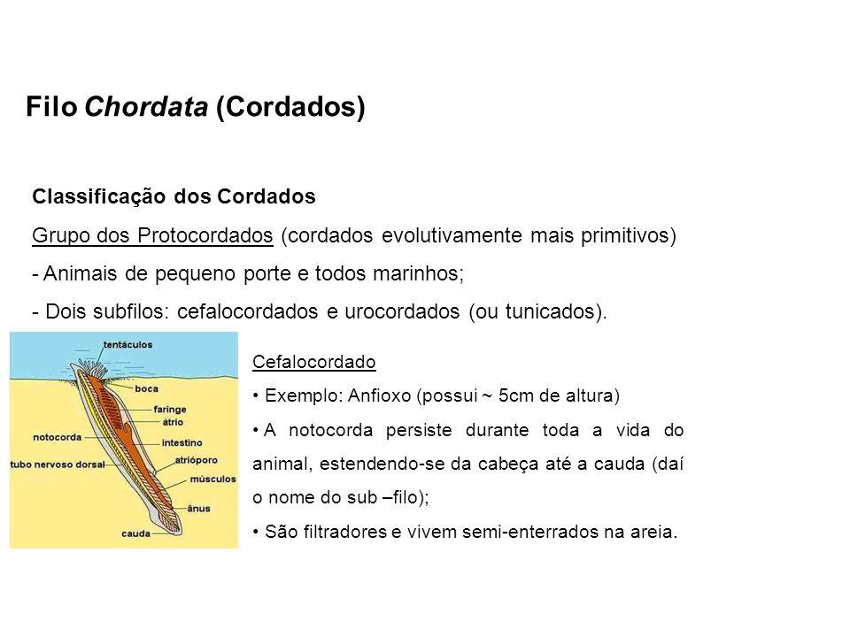 Filo Chordata (Cordados) Classificação dos Cordados Grupo dos Protocordados (cordados evolutivamente mais primitivos) - Animais de pequeno porte e tod
