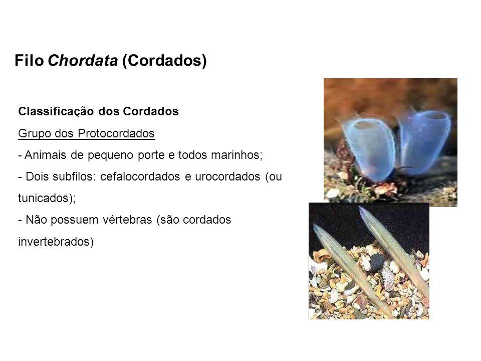 Filo Chordata (Cordados) Classificação dos Cordados Grupo dos Protocordados - Animais de pequeno porte e todos marinhos; - Dois subfilos: cefalocordad