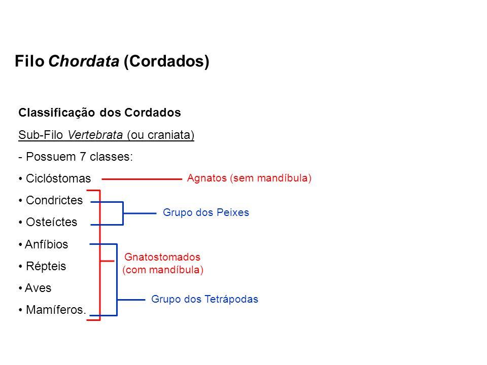 Classificação dos Cordados Sub-Filo Vertebrata (ou craniata) - Possuem 7 classes: Ciclóstomas Condrictes Osteíctes Anfíbios Répteis Aves Mamíferos. Fi