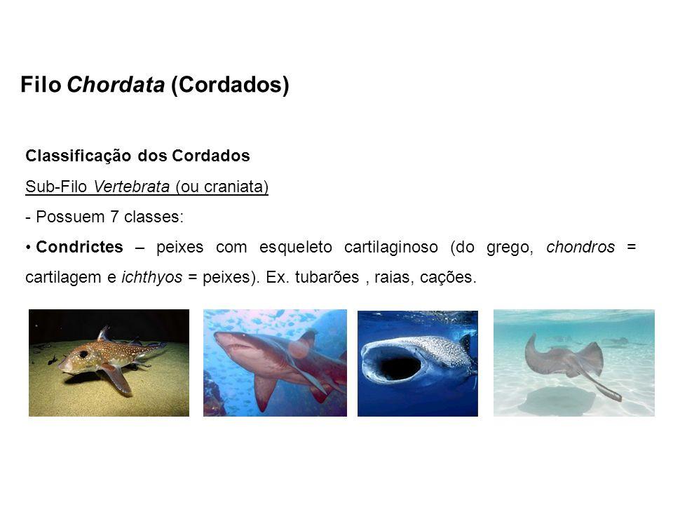Filo Chordata (Cordados) Classificação dos Cordados Sub-Filo Vertebrata (ou craniata) - Possuem 7 classes: Condrictes – peixes com esqueleto cartilagi