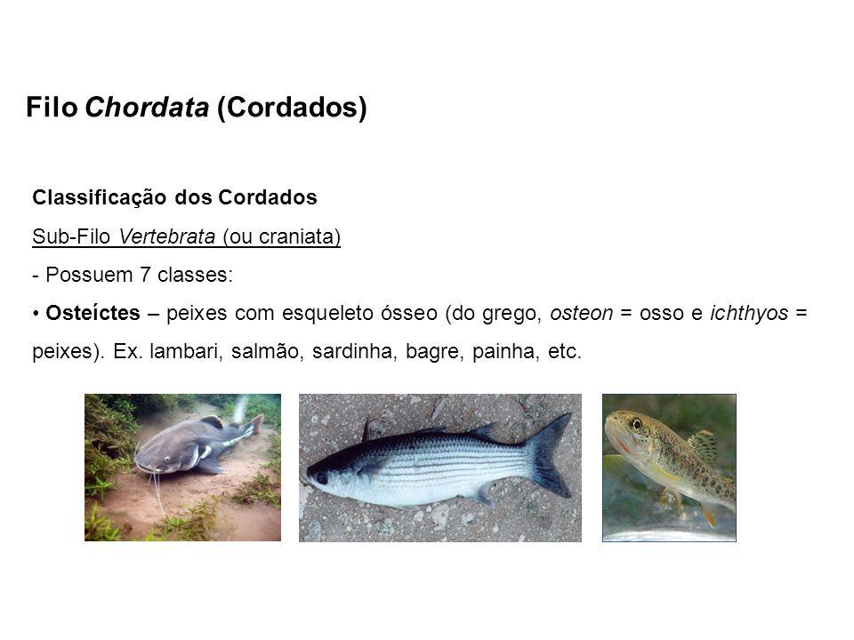 Filo Chordata (Cordados) Classificação dos Cordados Sub-Filo Vertebrata (ou craniata) - Possuem 7 classes: Osteíctes – peixes com esqueleto ósseo (do