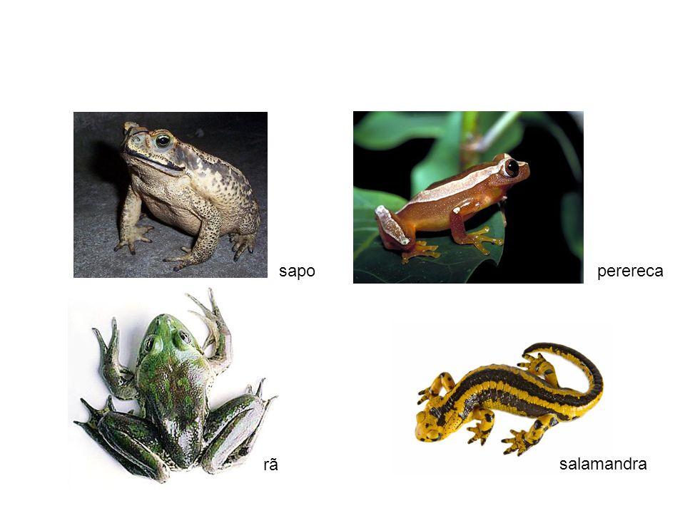 sapoperereca salamandra rã