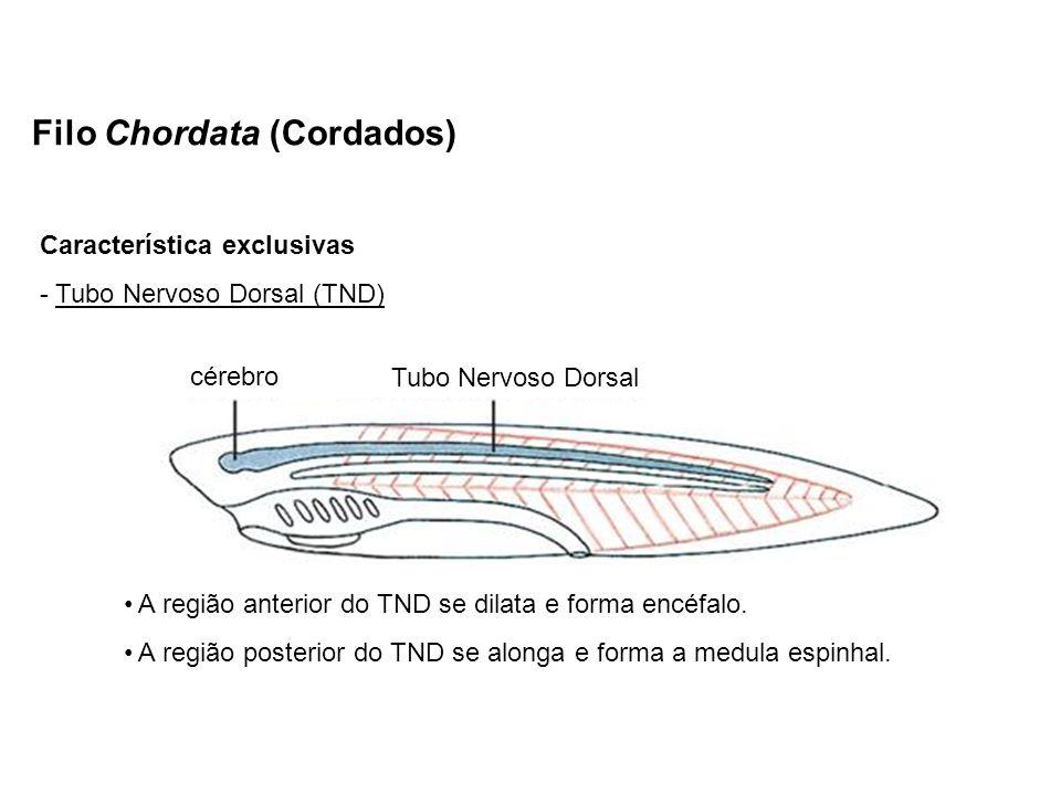Filo Chordata (Cordados) Característica exclusivas - Tubo Nervoso Dorsal (TND) A região anterior do TND se dilata e forma encéfalo. A região posterior