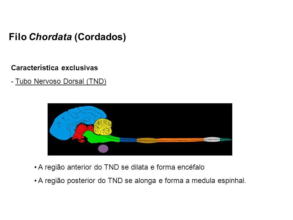 Filo Chordata (Cordados) Característica exclusivas - Tubo Nervoso Dorsal (TND) A região anterior do TND se dilata e forma encéfalo A região posterior