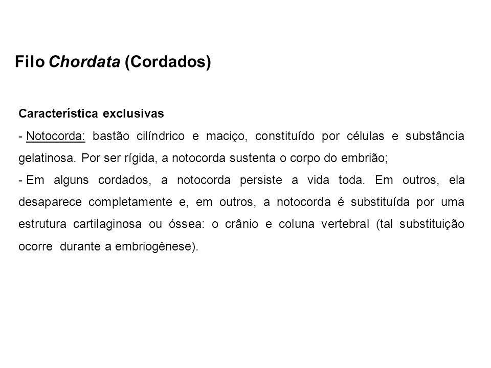 Filo Chordata (Cordados) Característica exclusivas - Notocorda: bastão cilíndrico e maciço, constituído por células e substância gelatinosa. Por ser r
