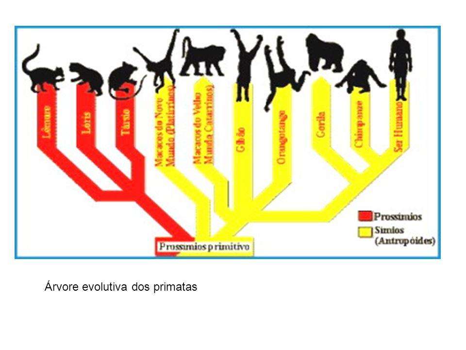Árvore evolutiva dos primatas