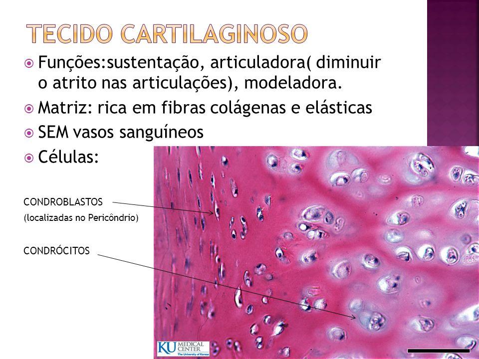 Funções:sustentação, articuladora( diminuir o atrito nas articulações), modeladora. Matriz: rica em fibras colágenas e elásticas SEM vasos sanguíneos