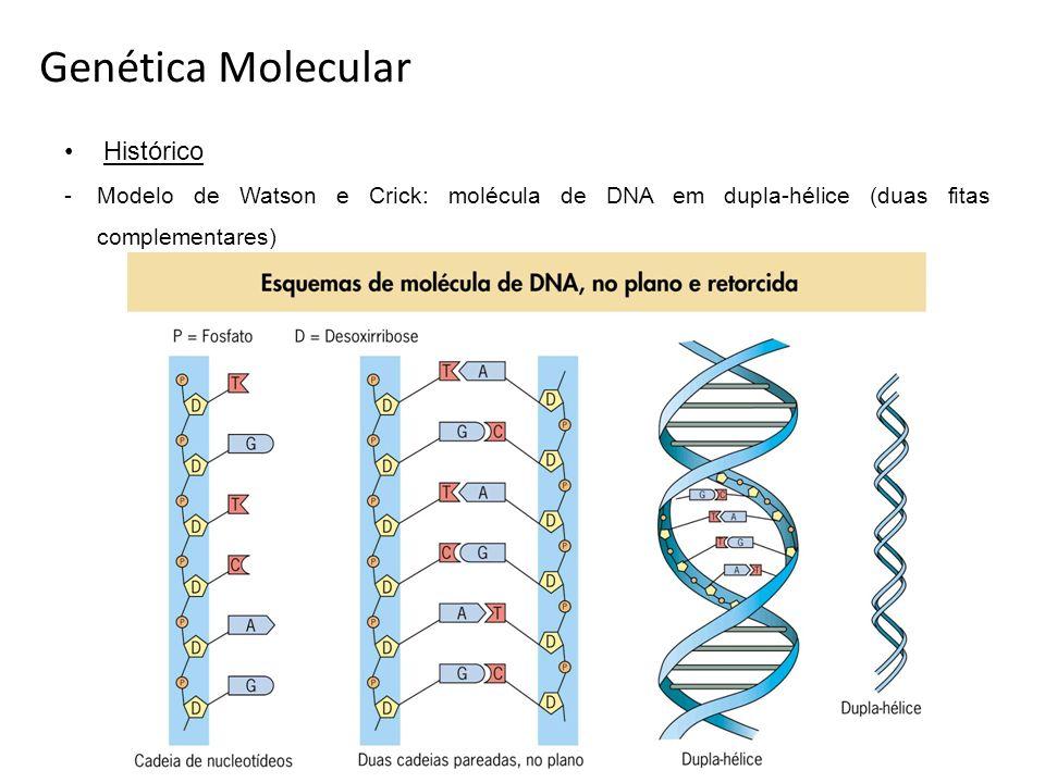 Genética Molecular Histórico -Modelo de Watson e Crick: molécula de DNA em dupla-hélice (duas fitas complementares)
