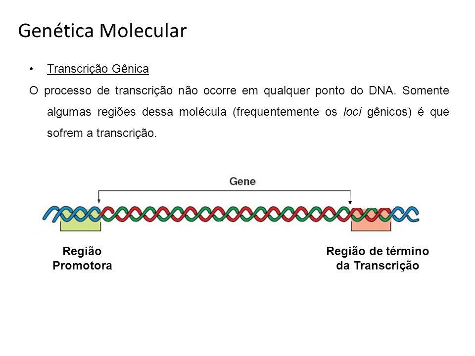 Transcrição Gênica O processo de transcrição não ocorre em qualquer ponto do DNA. Somente algumas regiões dessa molécula (frequentemente os loci gênic