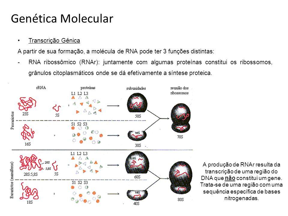 Transcrição Gênica A partir de sua formação, a molécula de RNA pode ter 3 funções distintas: -RNA ribossômico (RNAr): juntamente com algumas proteínas