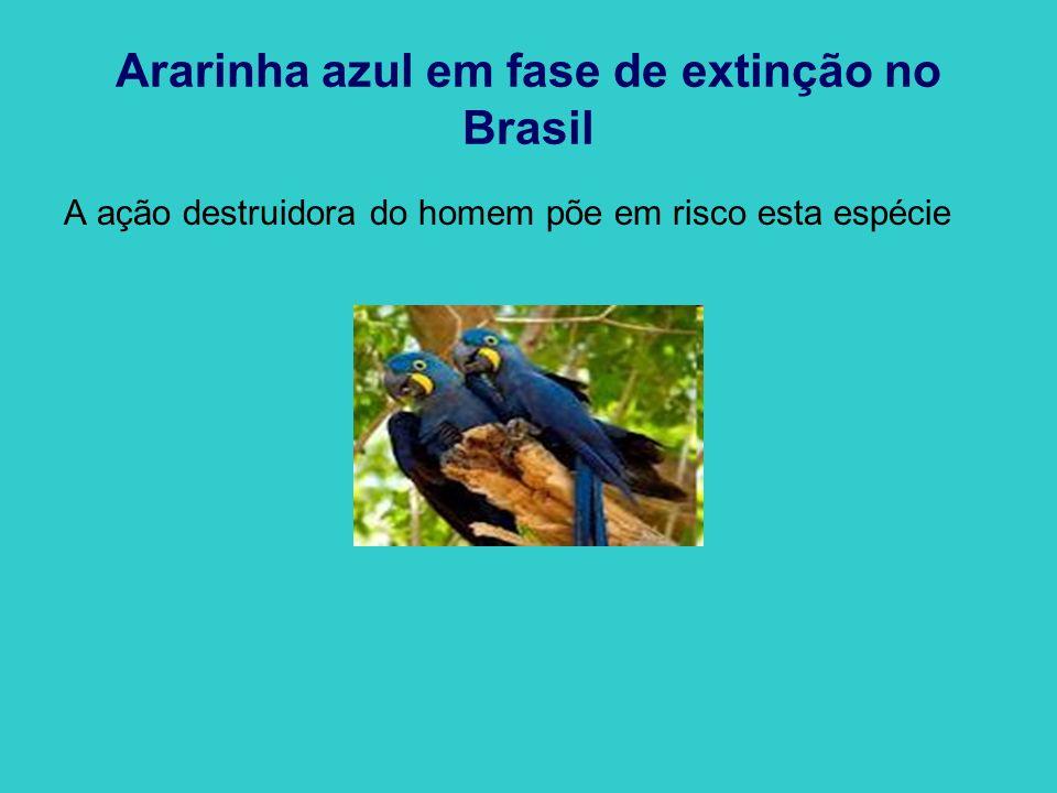 A ararinha-azul é uma espécie ameaçada de extinção que só é encontrada no extremo Norte do estado brasileiro da Bahia.