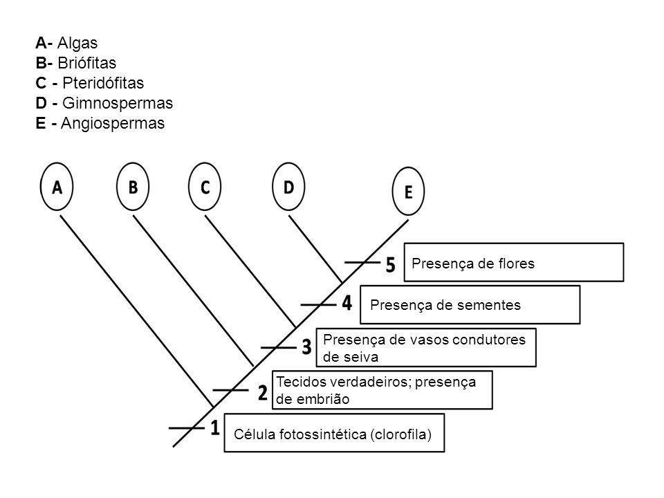 A- Algas B- Briófitas C - Pteridófitas D - Gimnospermas E - Angiospermas Célula fotossintética (clorofila) Tecidos verdadeiros; presença de embrião Presença de vasos condutores de seiva Presença de sementes Presença de flores