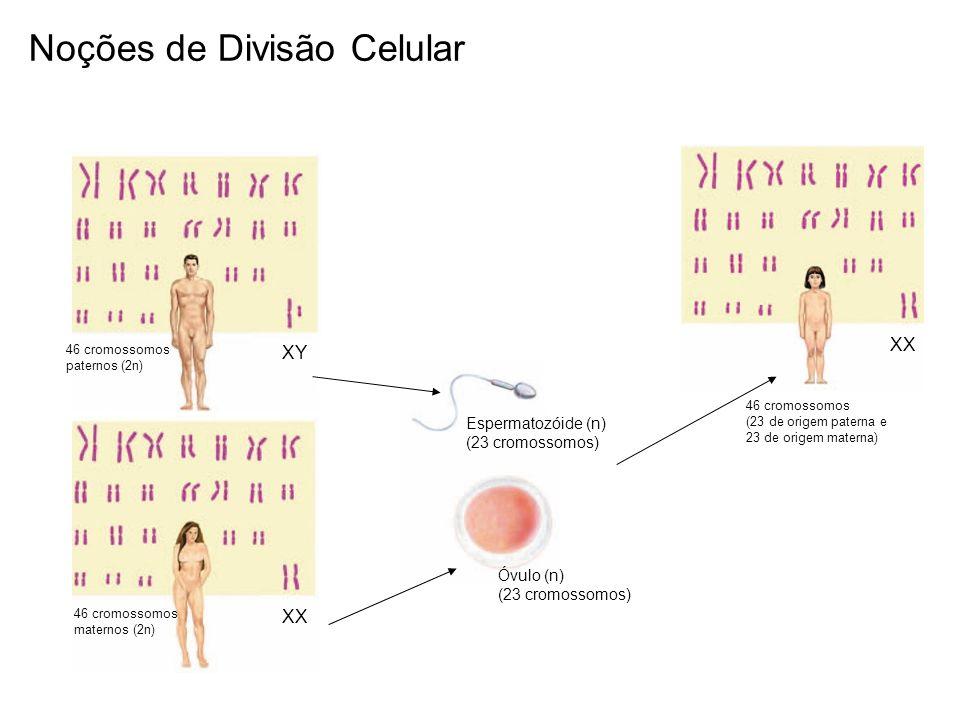 46 cromossomos paternos (2n) XY 46 cromossomos maternos (2n) XX Espermatozóide (n) (23 cromossomos) Óvulo (n) (23 cromossomos) 46 cromossomos (23 de o