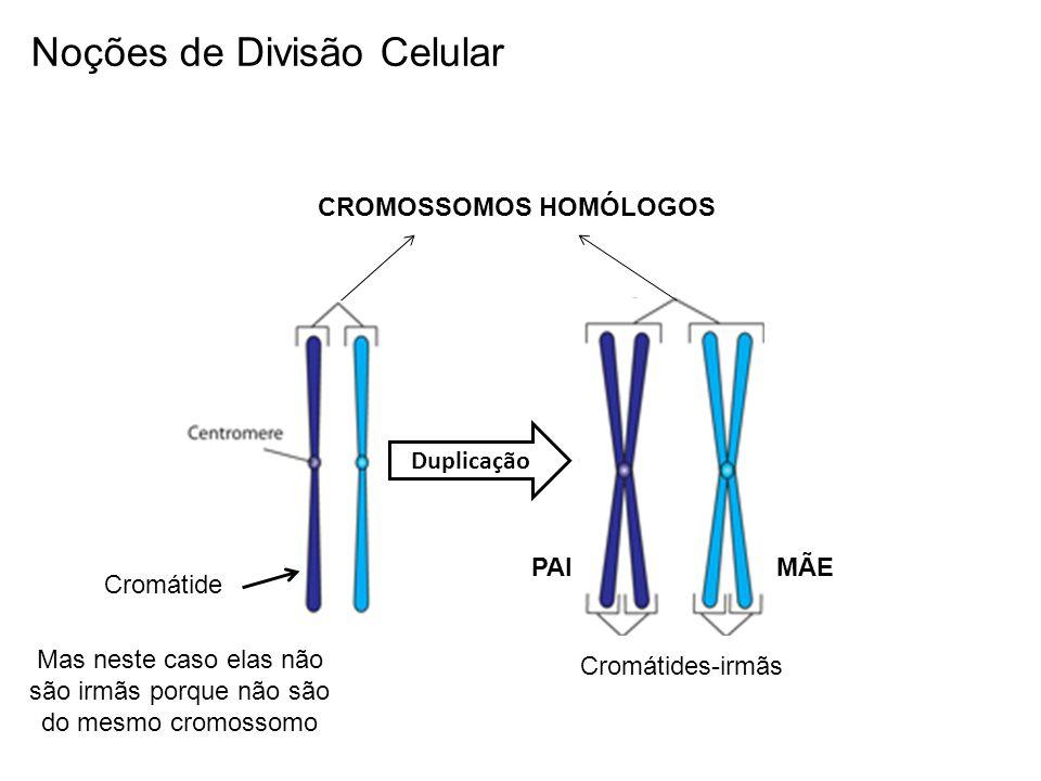 Cromátides-irmãs Mas neste caso elas não são irmãs porque não são do mesmo cromossomo Duplicação Cromátide CROMOSSOMOS HOMÓLOGOS PAIMÃE Noções de Divi