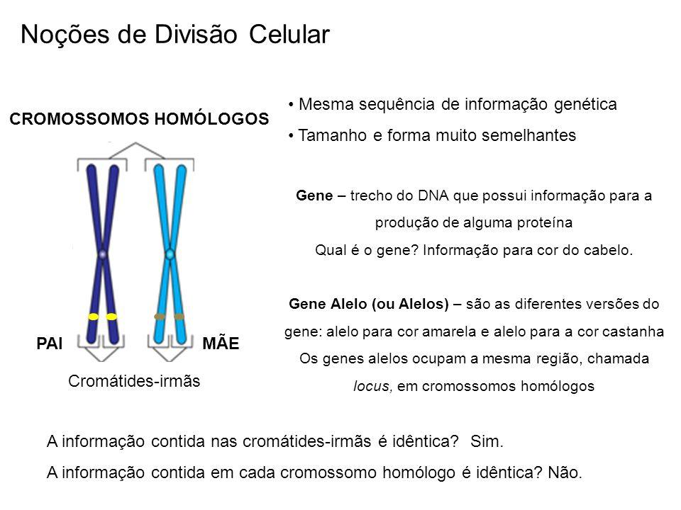 CROMOSSOMOS HOMÓLOGOS Mesma sequência de informação genética Tamanho e forma muito semelhantes PAIMÃE A informação contida nas cromátides-irmãs é idên