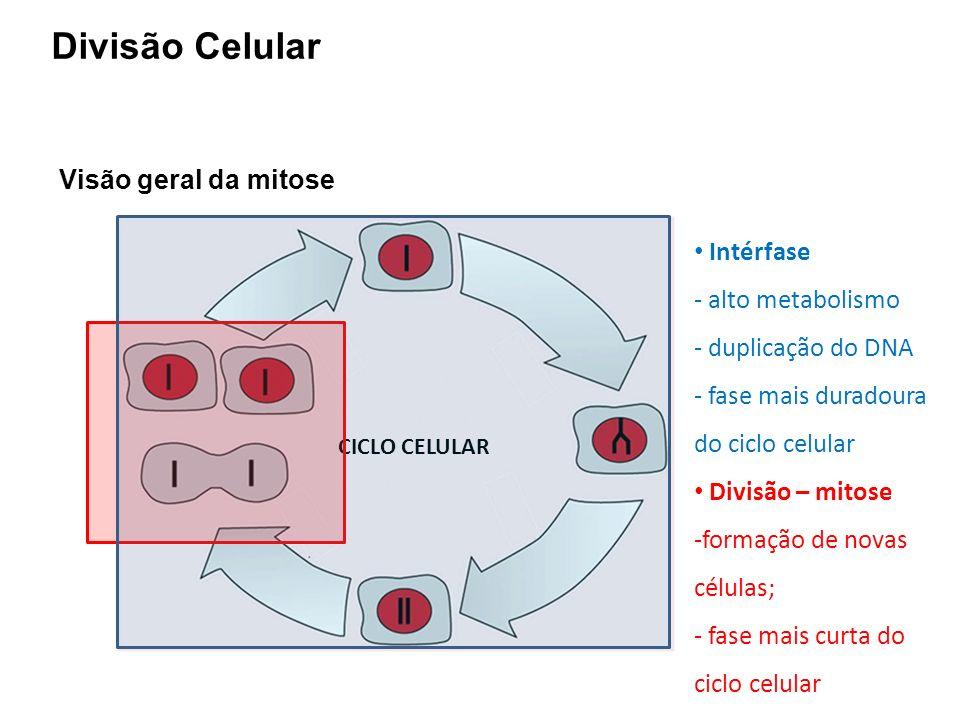Visão geral da mitose CICLO CELULAR Intérfase - alto metabolismo - duplicação do DNA - fase mais duradoura do ciclo celular Divisão – mitose -formação