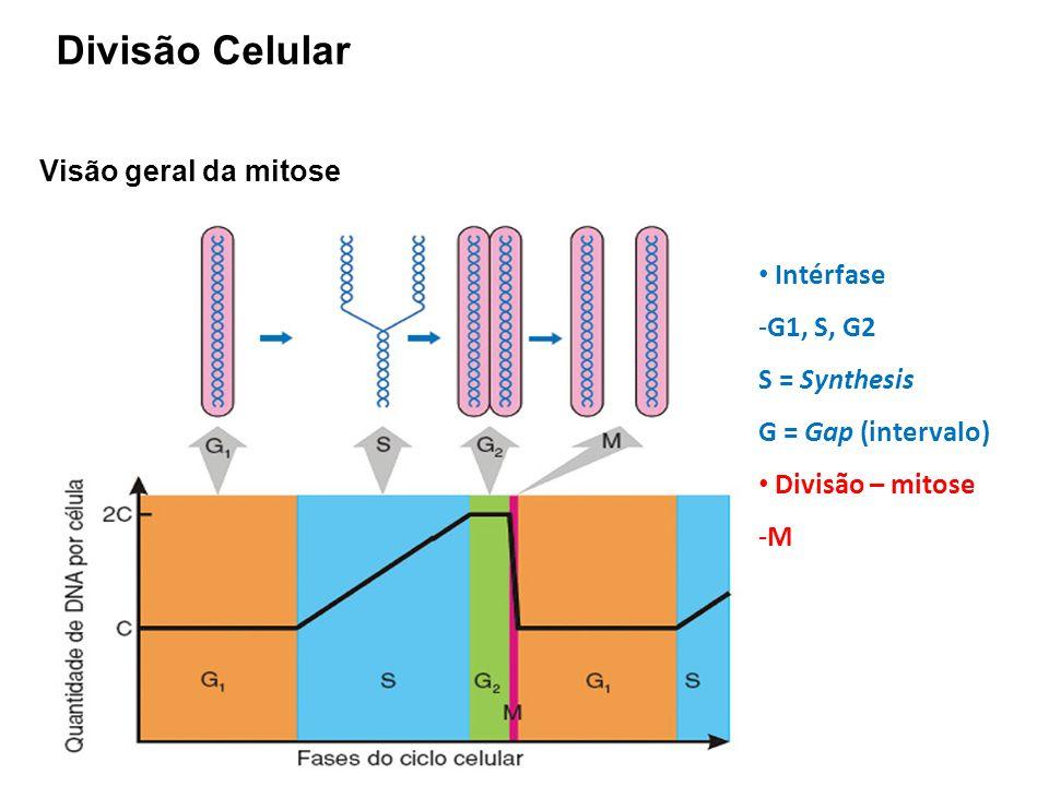 Visão geral da mitose Intérfase -G1, S, G2 S = Synthesis G = Gap (intervalo) Divisão – mitose -M Divisão Celular