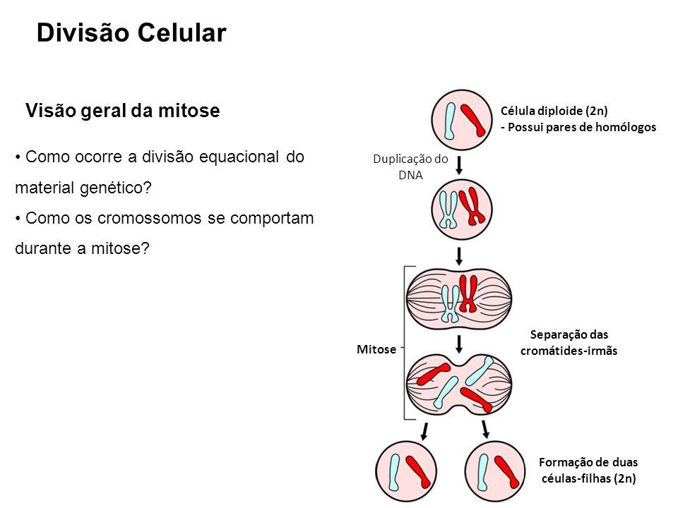 Como ocorre a divisão equacional do material genético? Como os cromossomos se comportam durante a mitose? Visão geral da mitose Célula diploide (2n) -