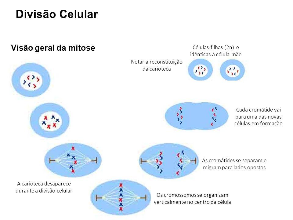 Visão geral da mitose Os cromossomos se organizam verticalmente no centro da célula As cromátides se separam e migram para lados opostos Cada cromátid