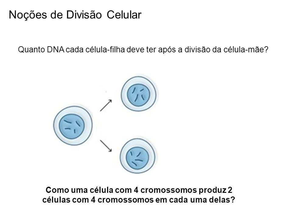 Quanto DNA cada célula-filha deve ter após a divisão da célula-mãe? Como uma célula com 4 cromossomos produz 2 células com 4 cromossomos em cada uma d