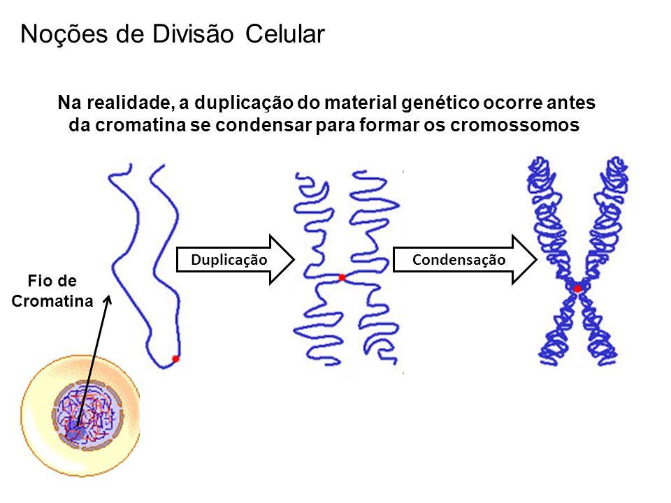 Na realidade, a duplicação do material genético ocorre antes da cromatina se condensar para formar os cromossomos Fio de Cromatina DuplicaçãoCondensaç